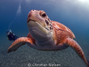 Touching the dome. Very curious green turtle in El Puerti... by Christian Nielsen 